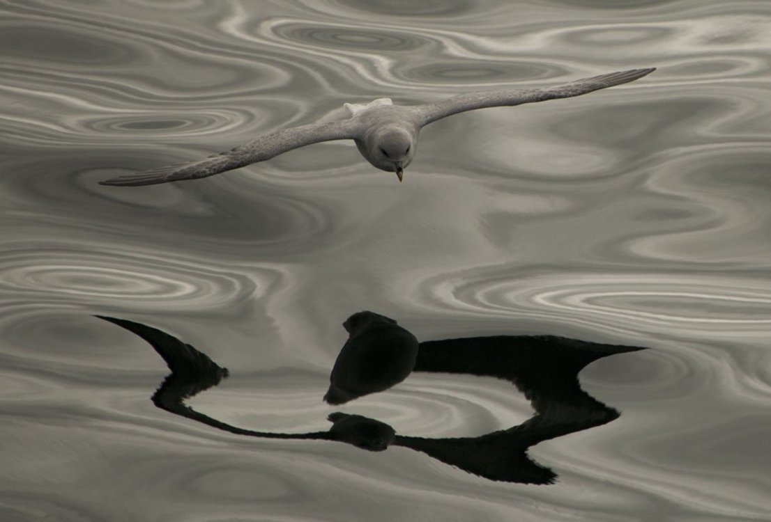Xl bird over troubled water  barents sea copyright david gr millet web